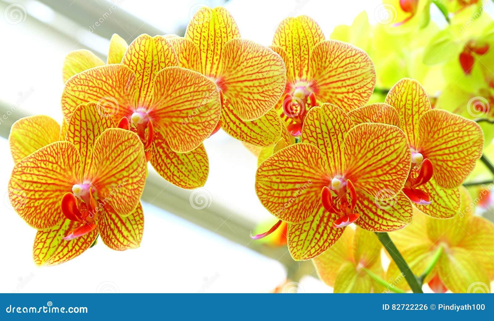 Gouden gele phalaenopsisorchideeën