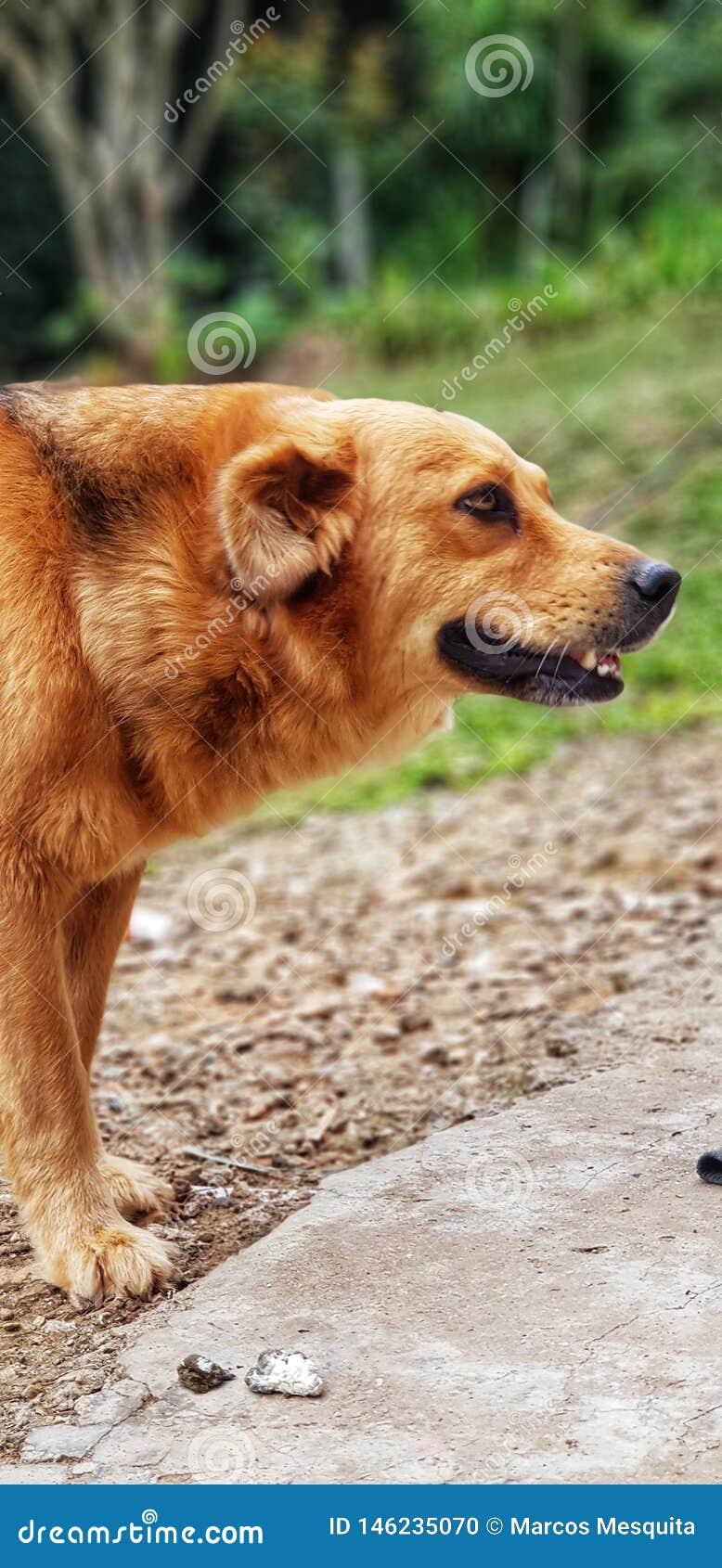 Gouden hond die in het landbouwbedrijf glimlachen
