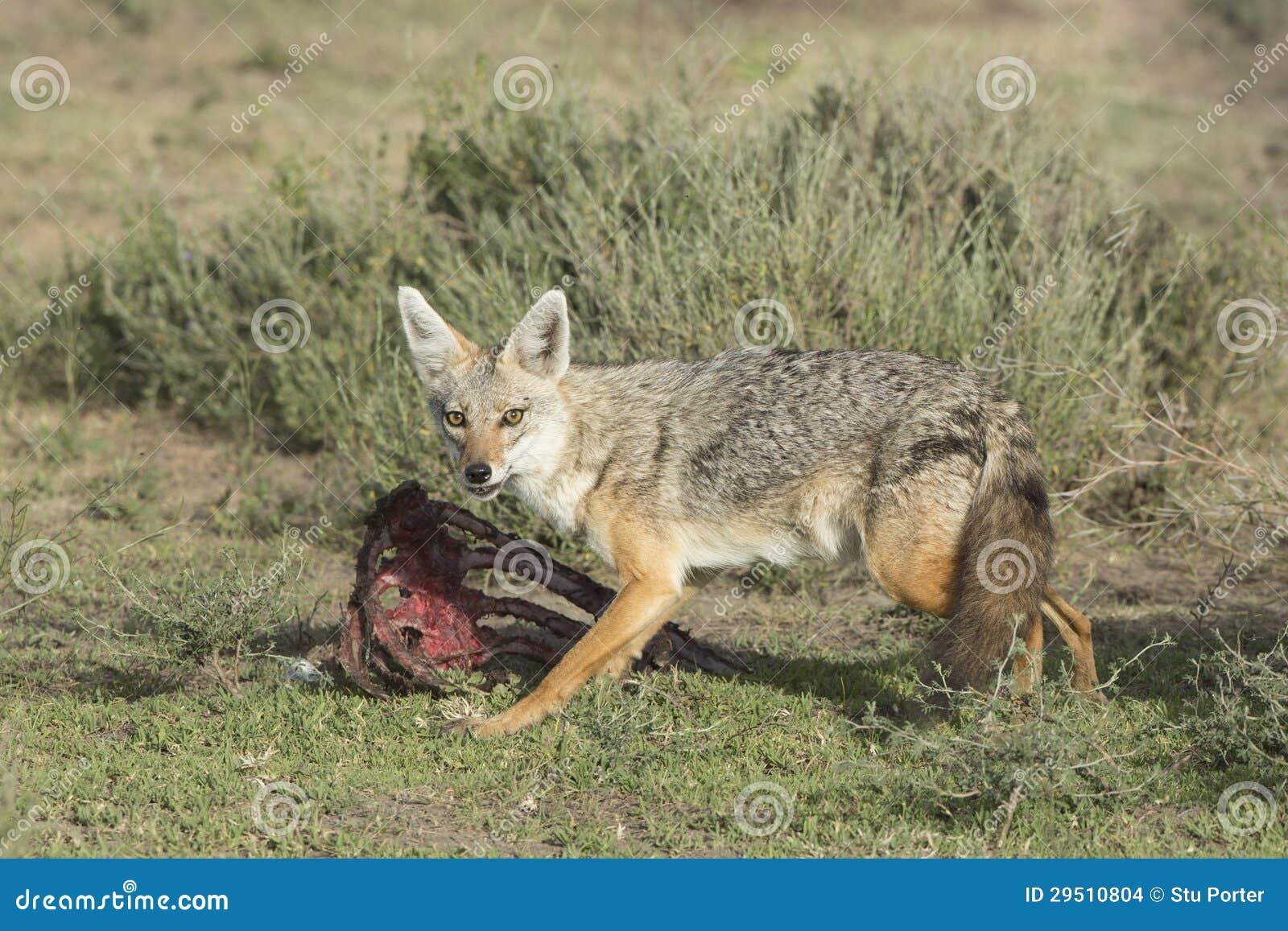 Gouden Jakhals (goudhoudende Canis), het voeden van Tanzania