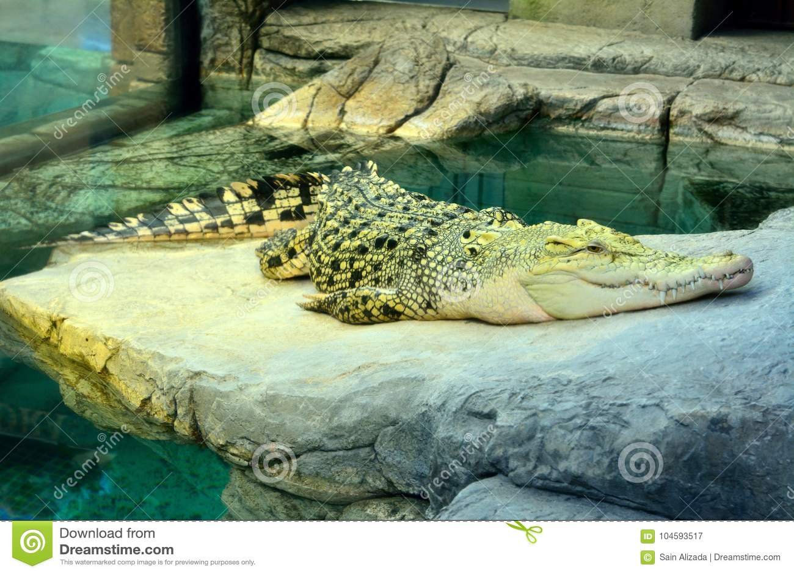 Gouden krokodil, een hybride van Zoutwater en Siamese Krokodillen