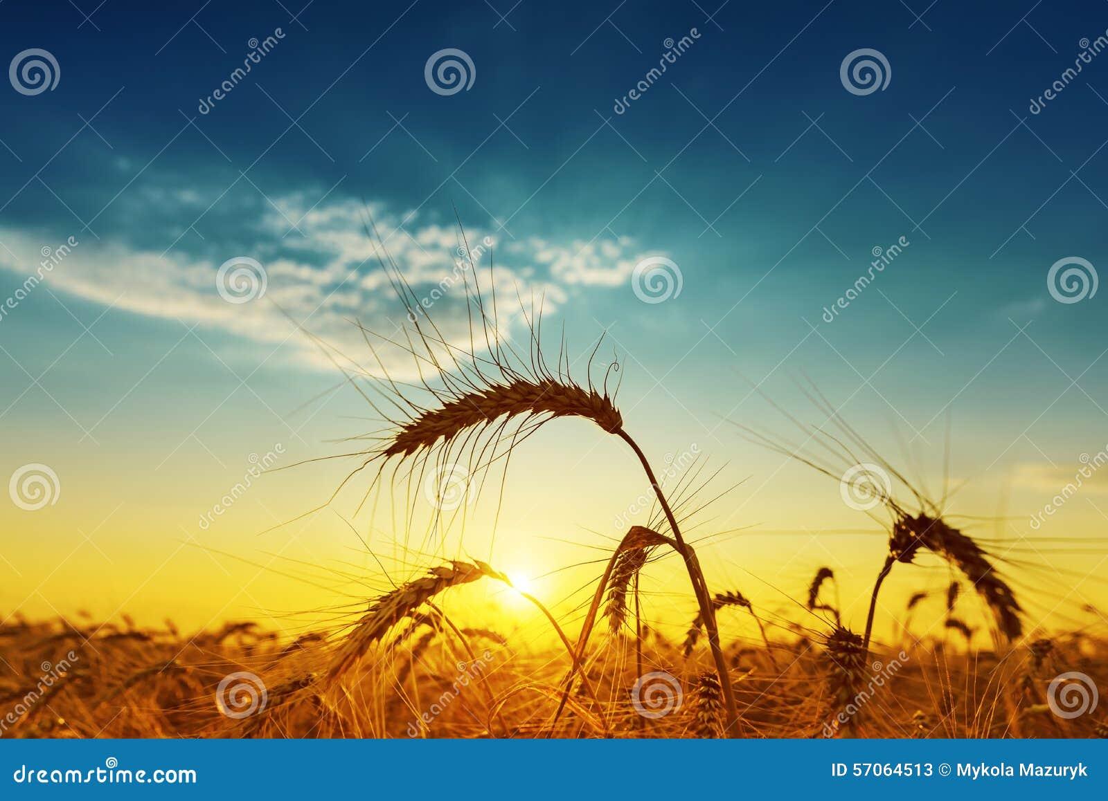 Gouden oogst onder blauwe bewolkte hemel op zonsondergang