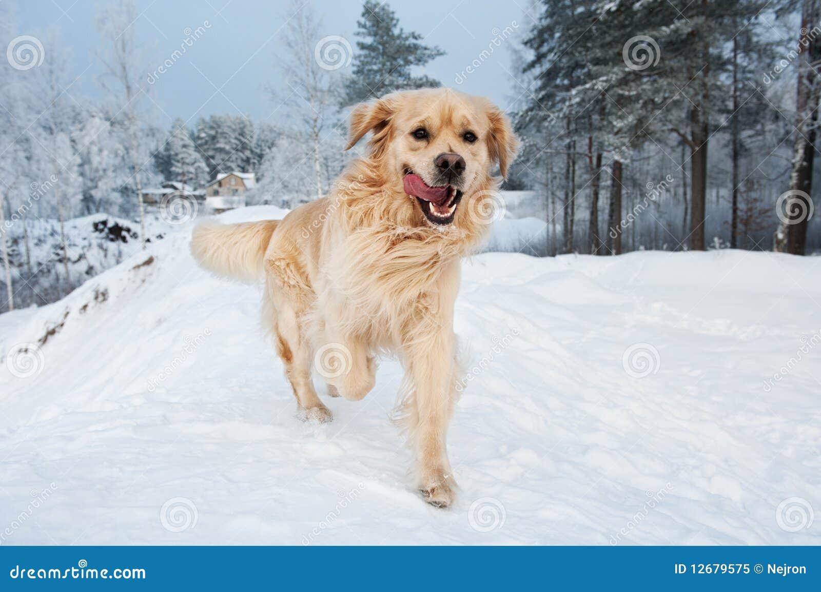 Gouden retriever die in de sneeuw loopt
