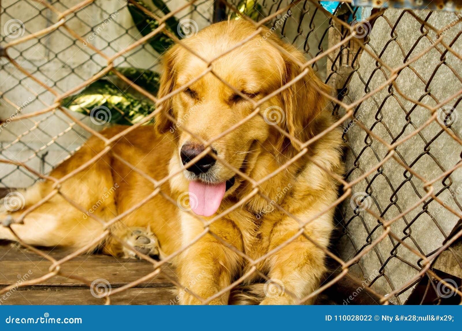 Gouden retrieverhond