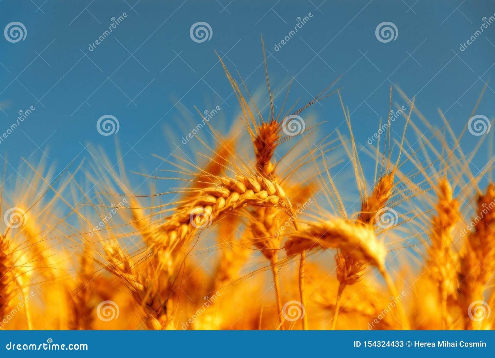 Gouden tarwegebied en zonnige dag