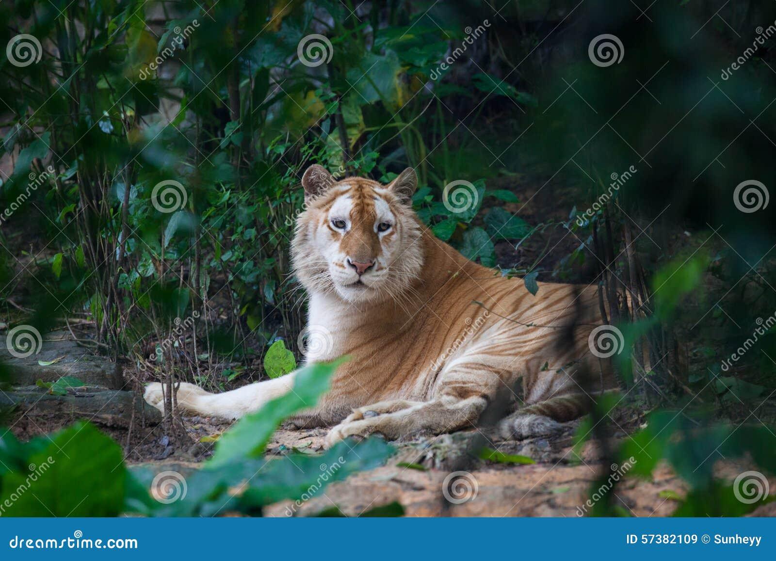 Gouden tijger