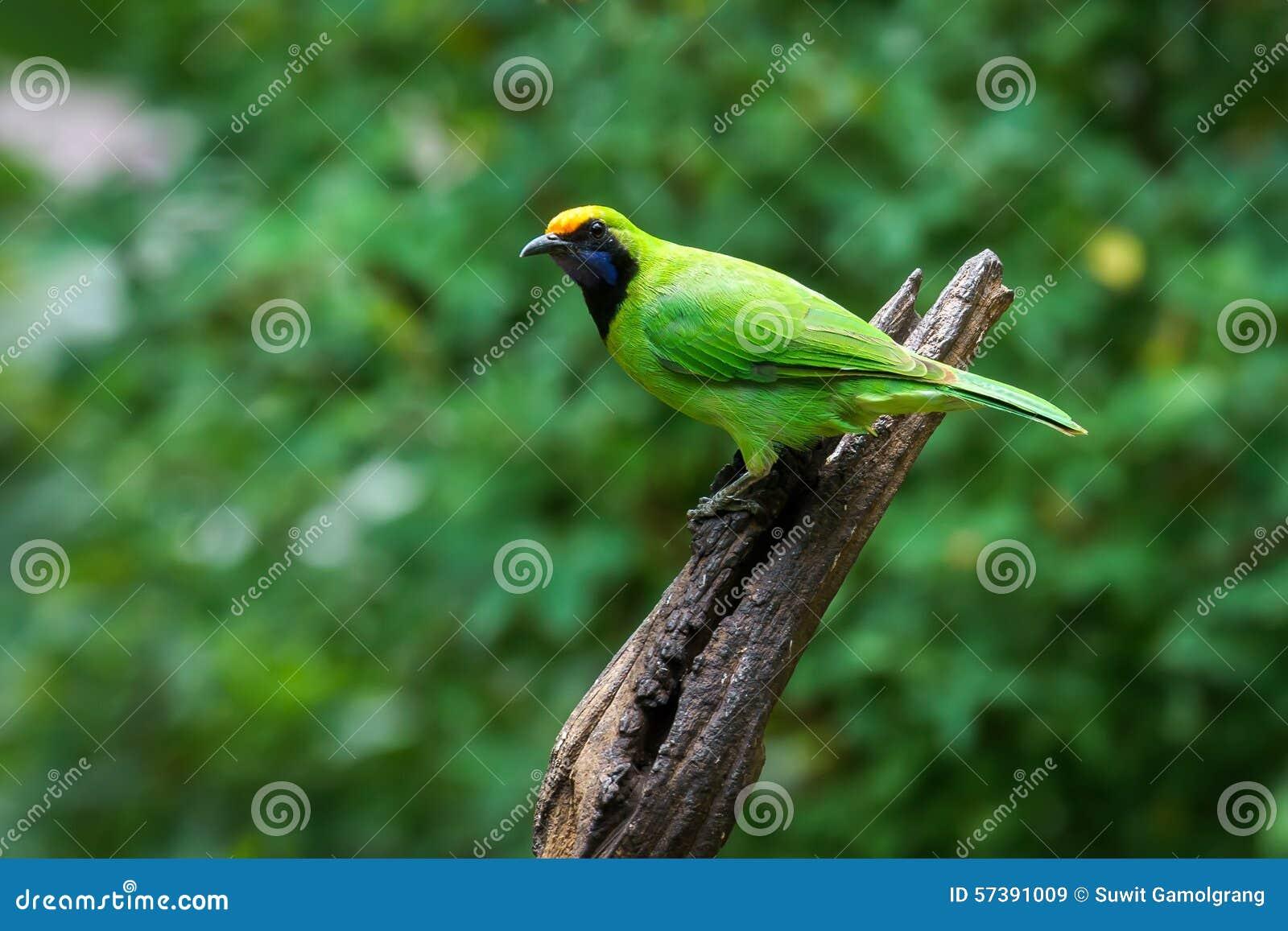 Gouden-uitgezien op Leafbird op Thailand