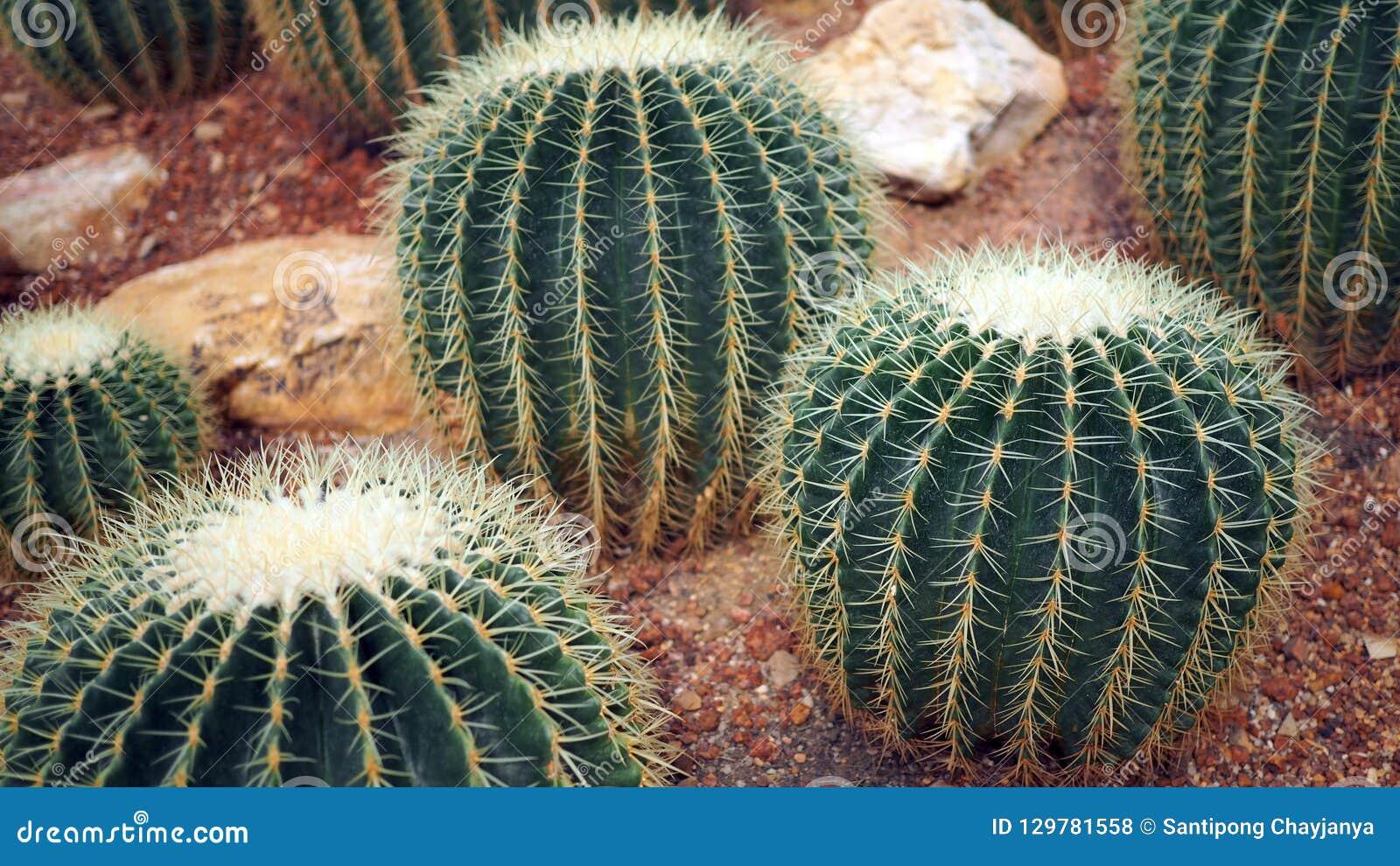 Gouden van vatcactus of Echinocactus grusonii in de botanische tuin Sluit van omhoog ronde groene cactaceae met aren Echinocactu