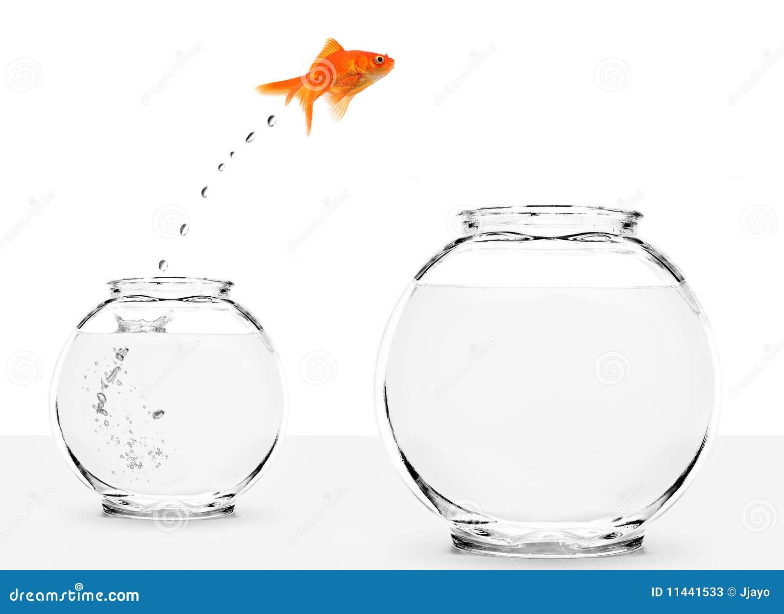 goudvis die van kleine aan grotere kom springen stock foto u0026 39 s