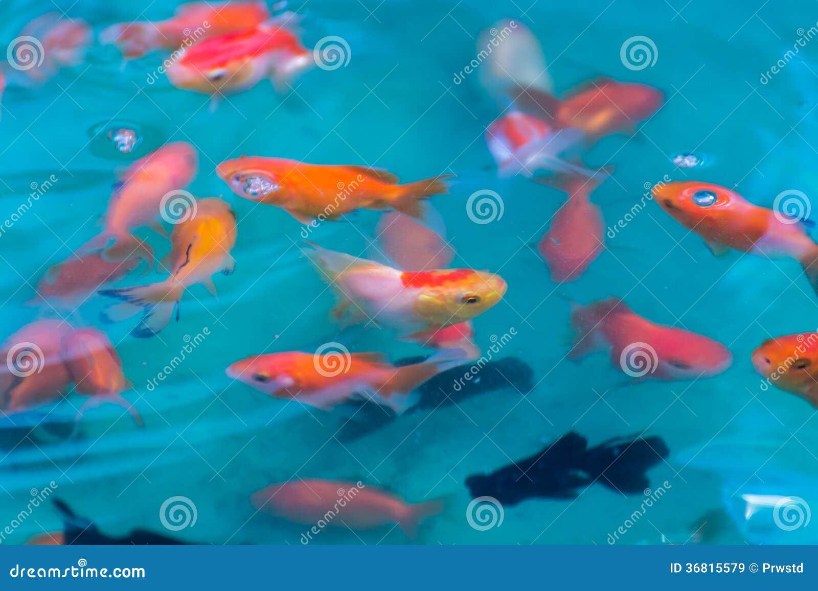 Goudvissen in vijver voor sell royalty vrije stock for Vendita pesci rossi on line
