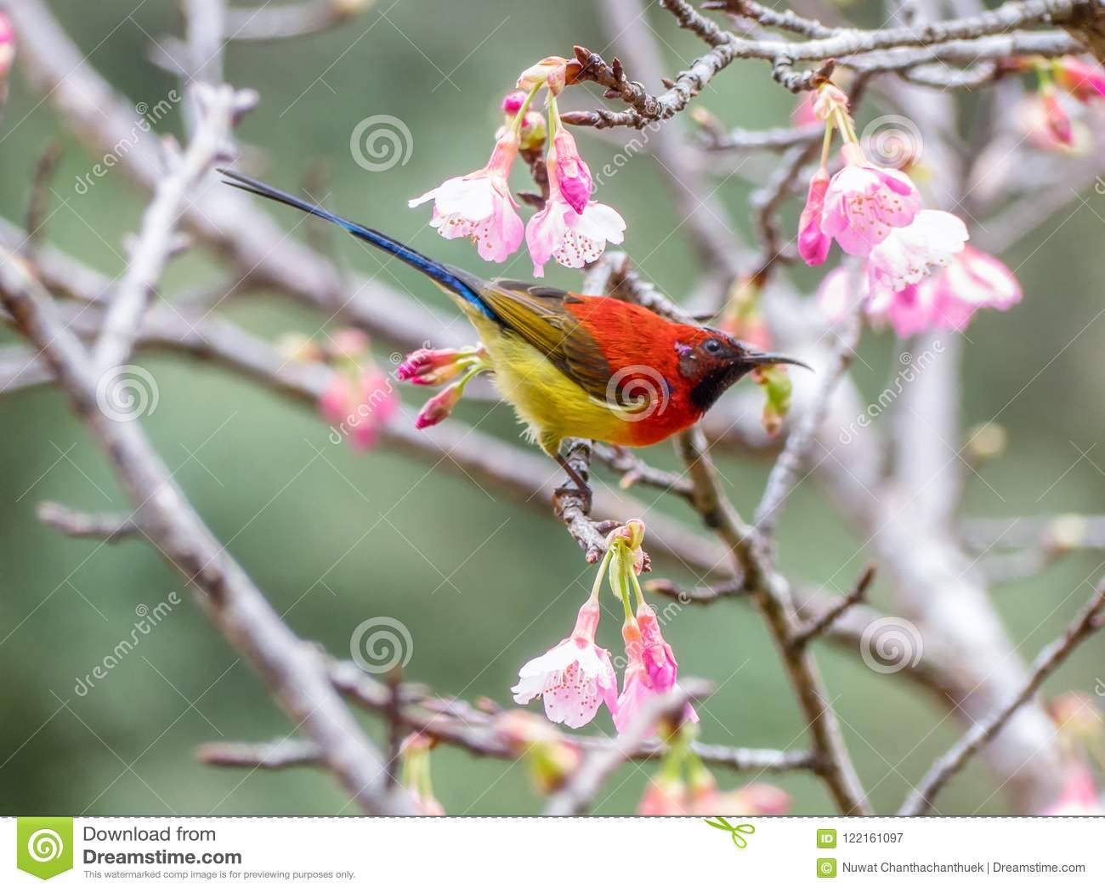 Gouldiae κας Gould ` s sunbird Aethopyga