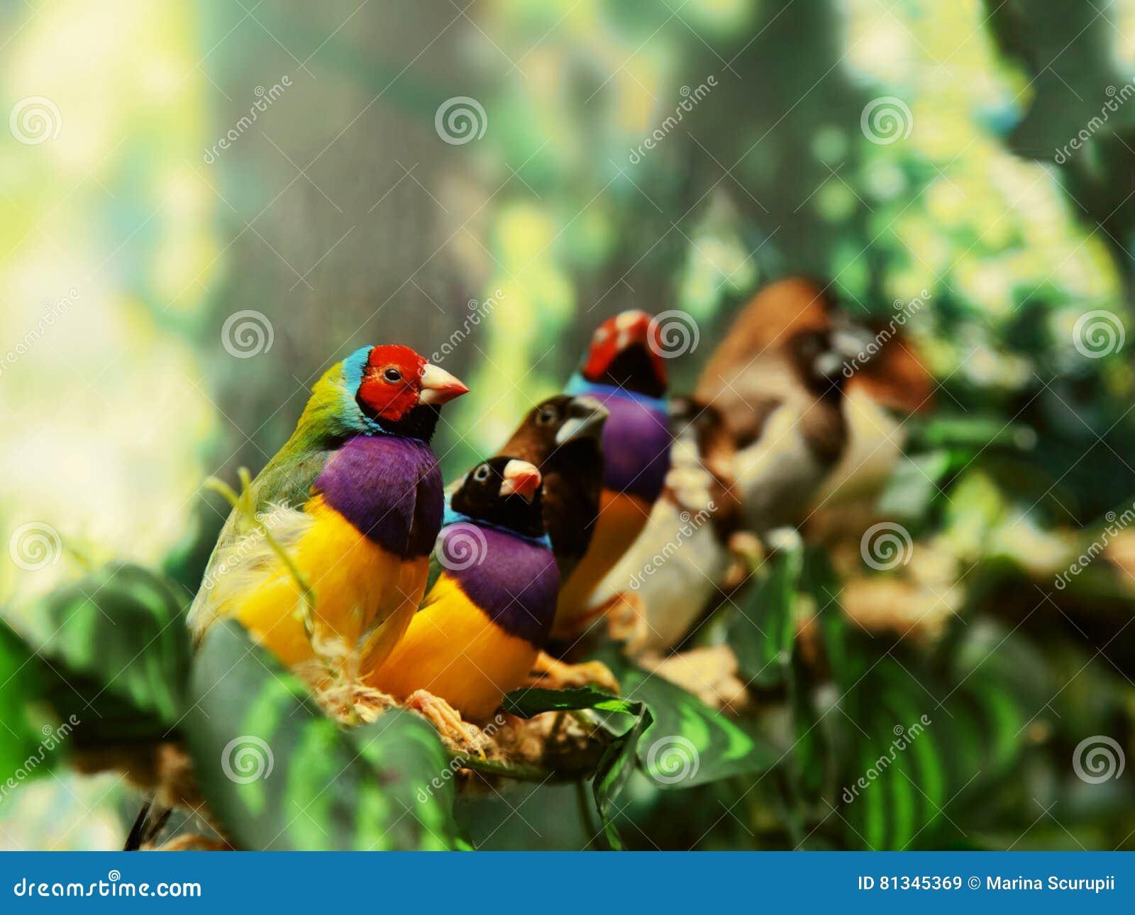 Gouldian finch egzota ptak