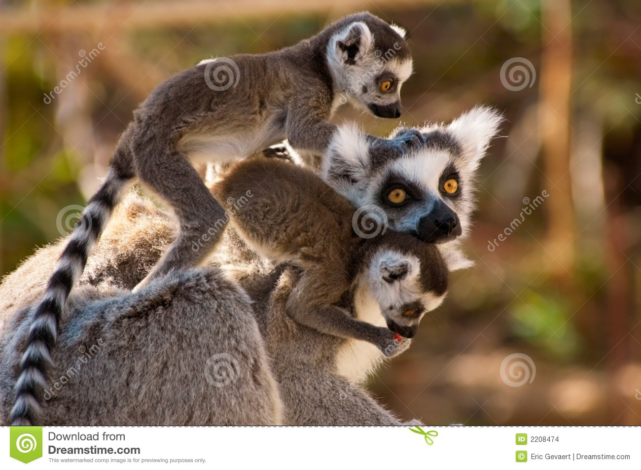 A goup of cute ring-tailed lem