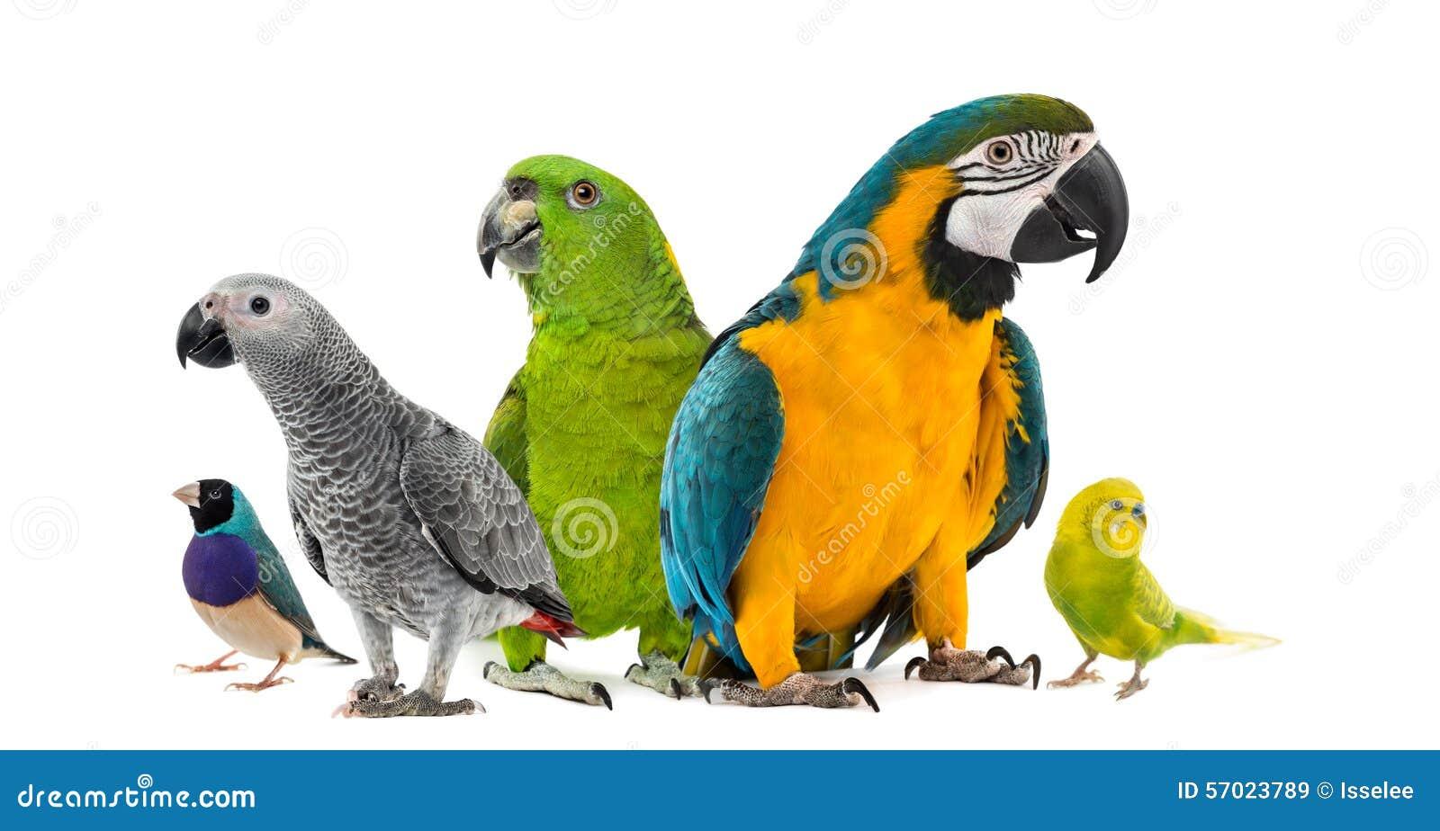 Goup dei pappagalli