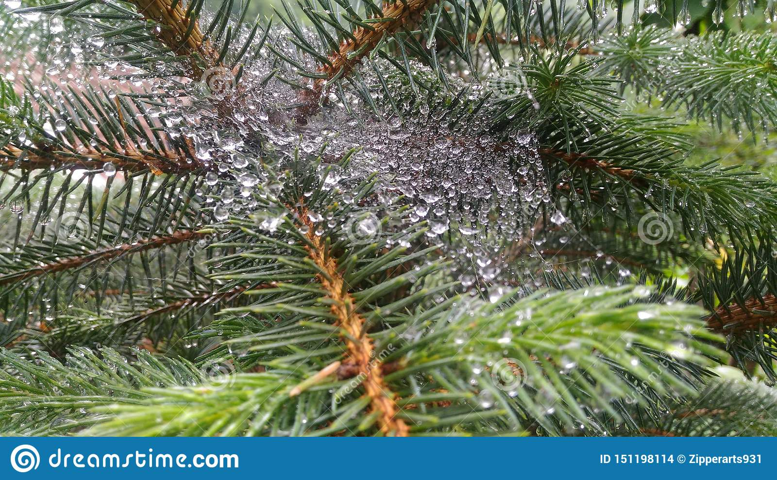 Gouttelettes d eau minuscules de toile d araignée