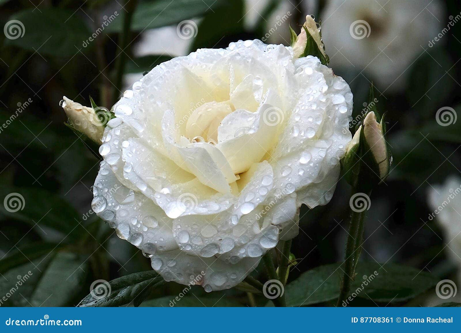 Gouttelettes d eau rose blanches