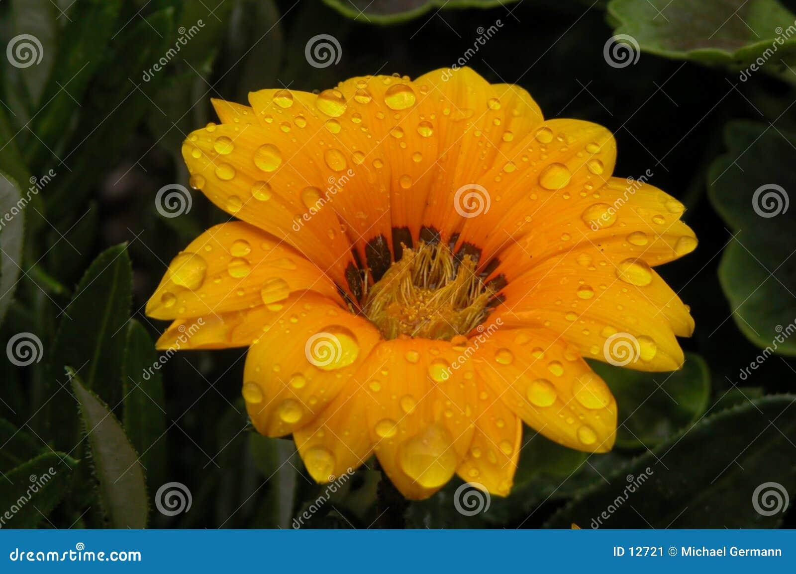 Gouttelettes sur la fleur