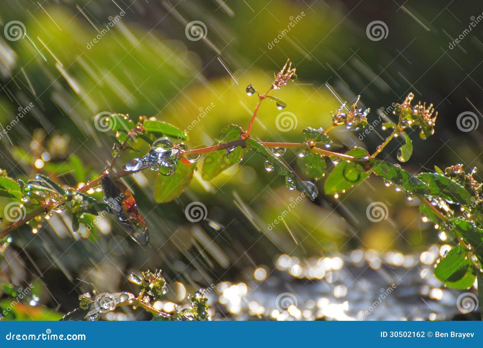 Gouttes de pluie sur l usine à mon jardin
