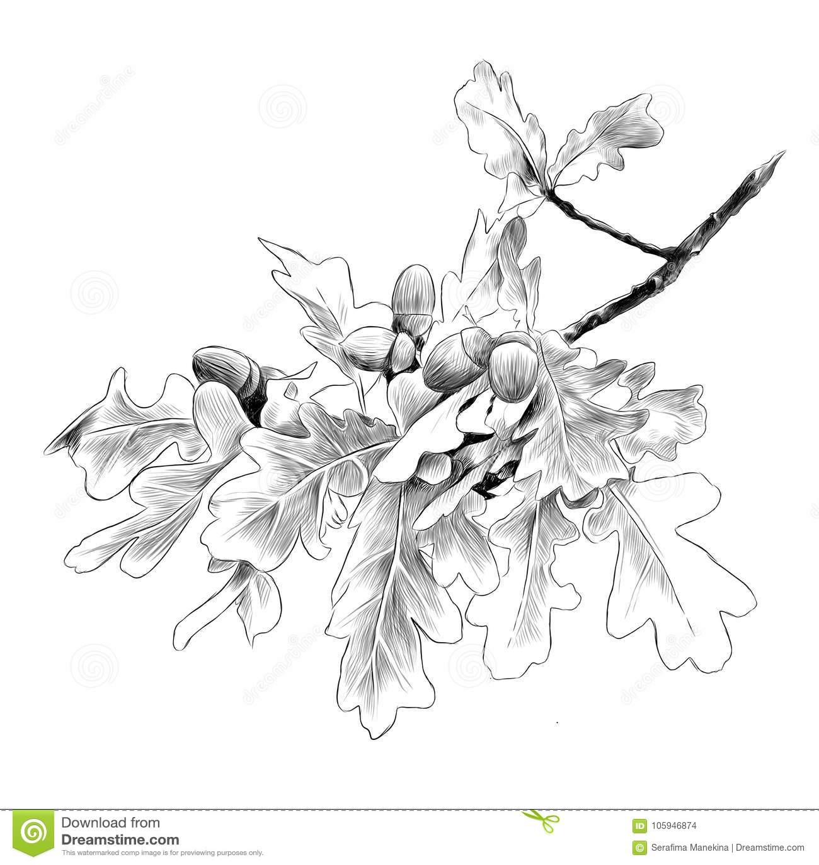 Gráficos de vector del bosquejo de la rama del roble