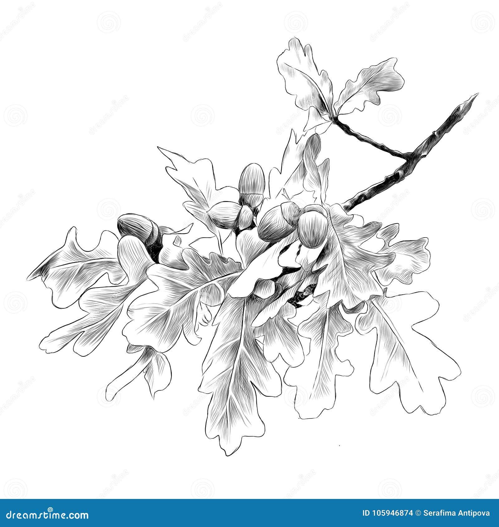 Gráficos de vetor do esboço do ramo do carvalho
