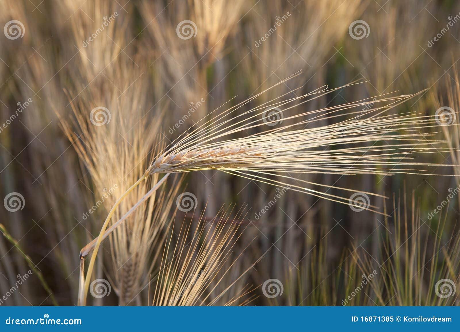 Grão amarela no campo