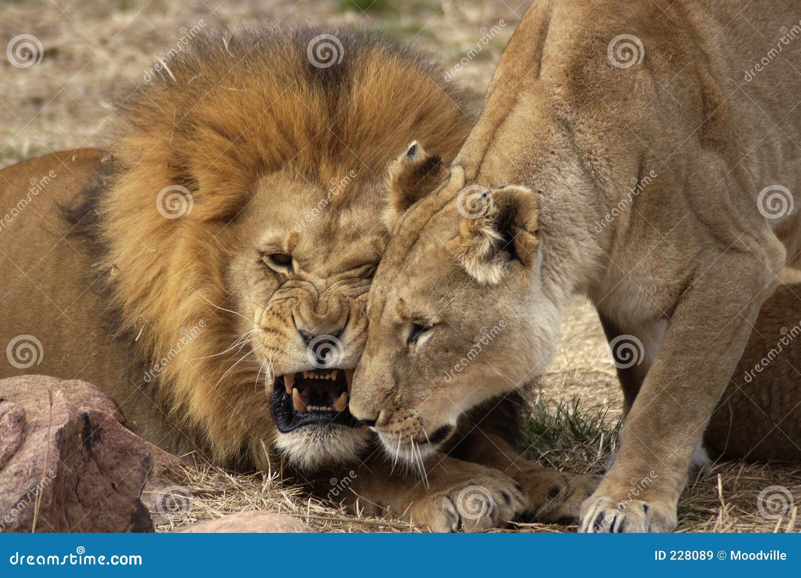 Gräla för lions