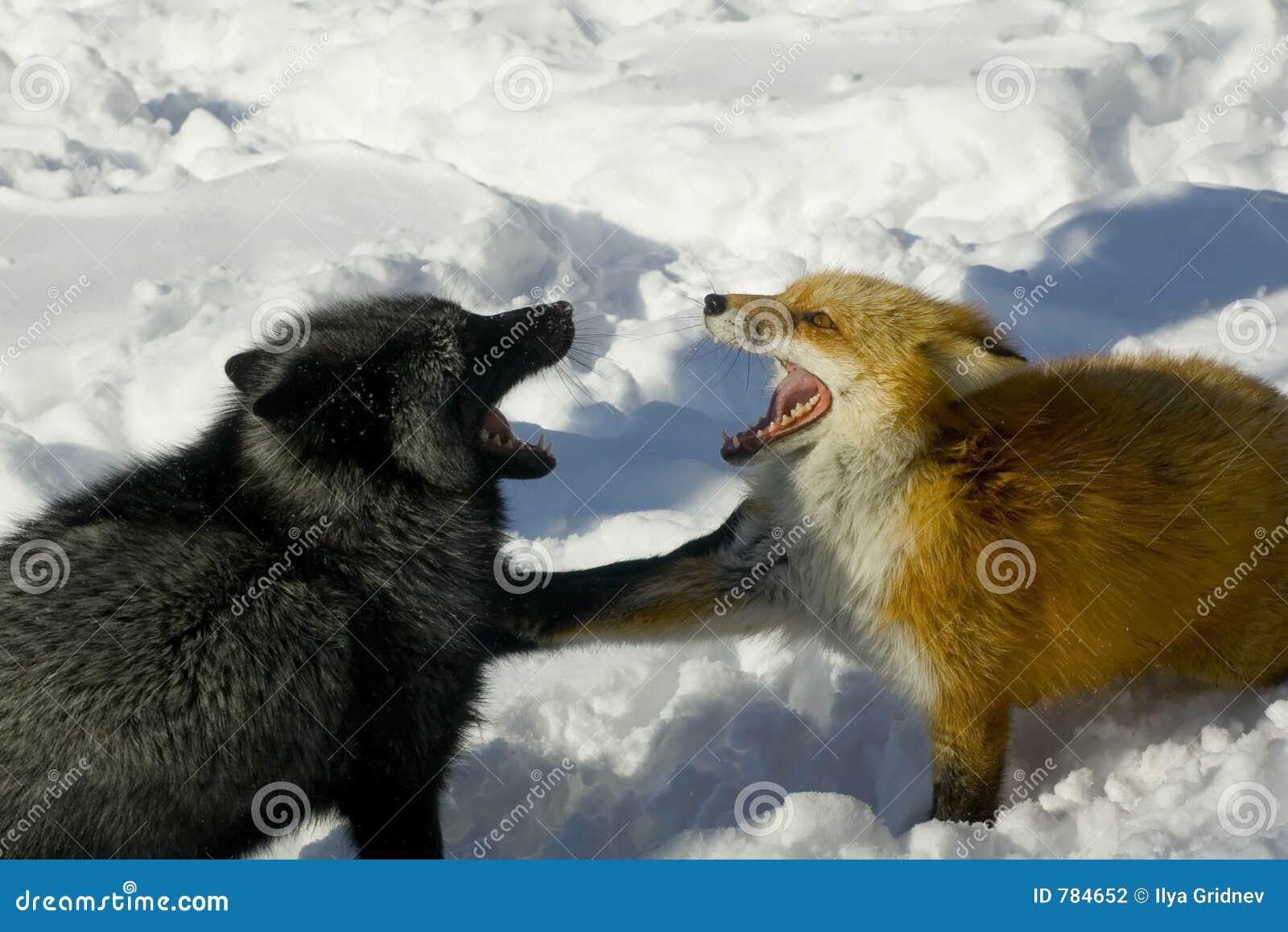 Gräla för rävar