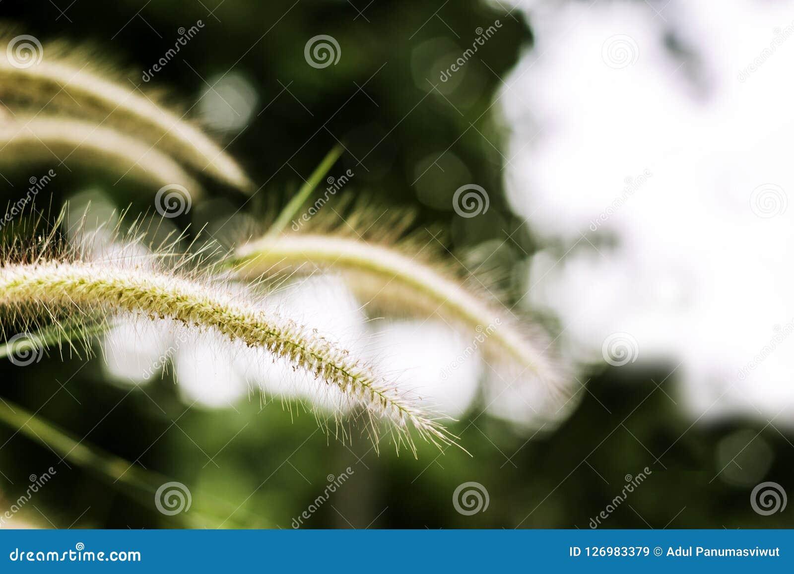 Gräs blomman på solnedgången med berglandskapbakgrund i den gröna naturen, solljus för inverkan för gulingblommagräs
