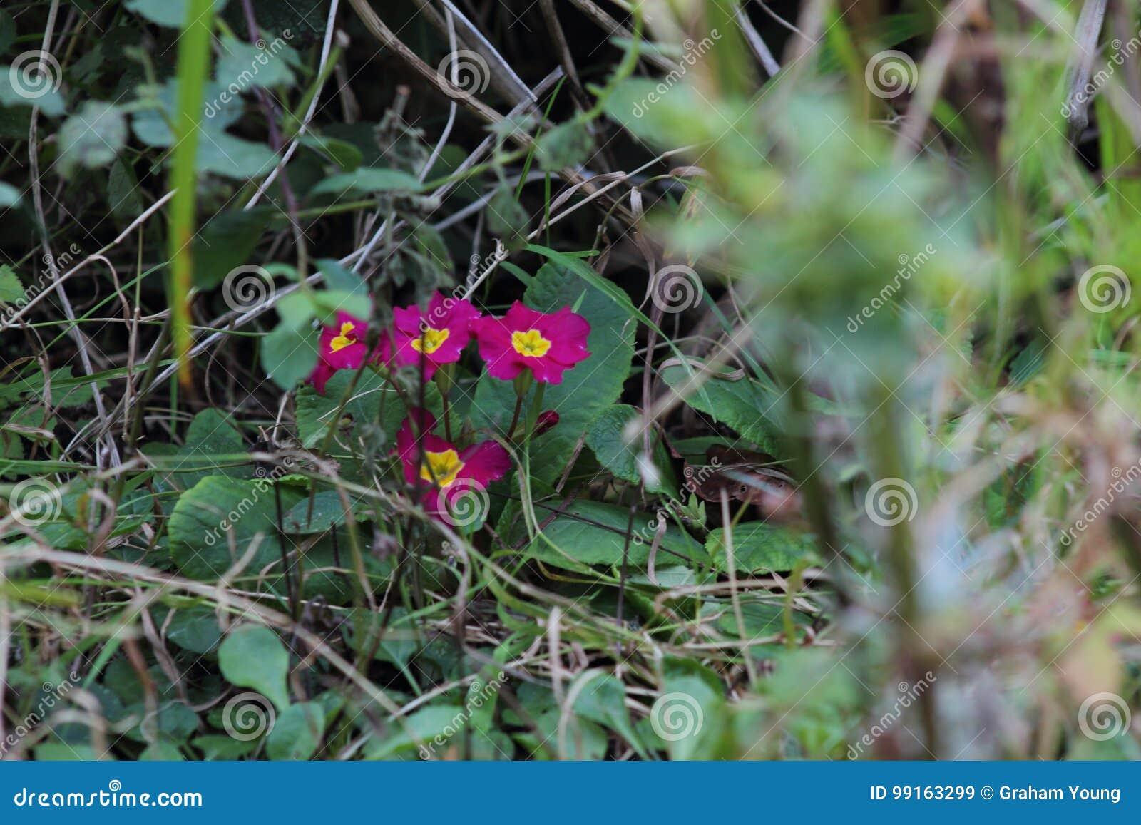 Gräs den på engelska trädgården, closeup, med lavendel och små flowes 2