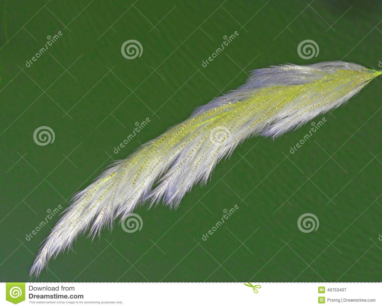 Gräs för mallpampasfjäder