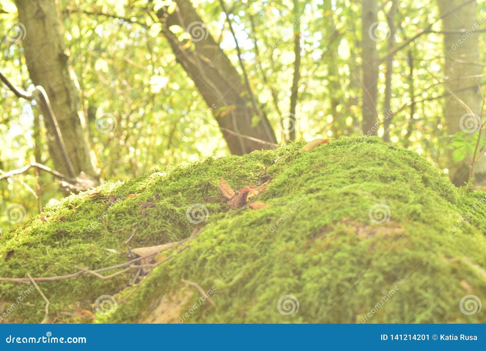 Gräs- rund kulle i skogen