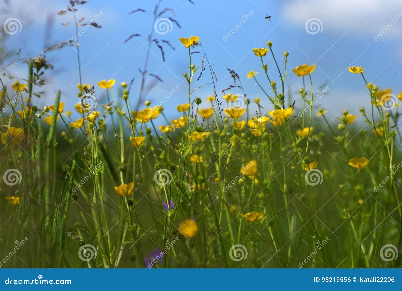 Gräs tände vid varmt solbelyst på en sommaräng, naturliga bakgrunder för abstrakt begrepp för din design