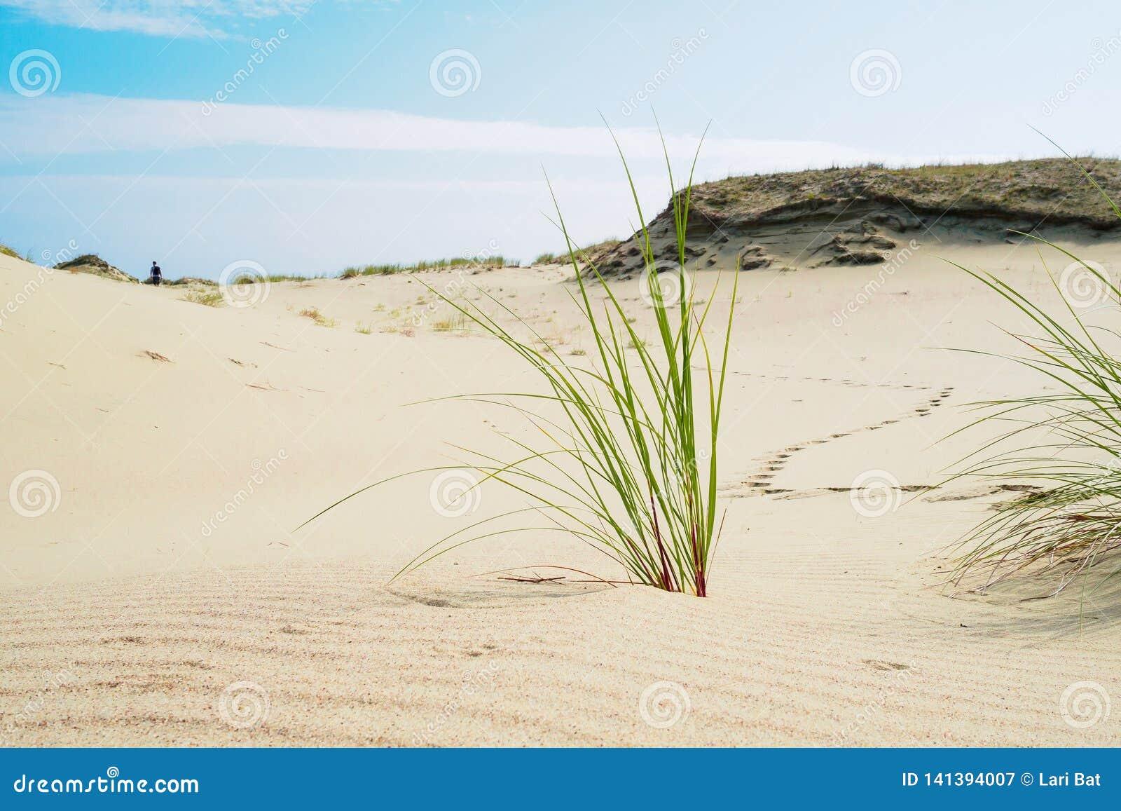 Gräs växer på sanderna av den spottade Curonianen slinga av en man som lämnar i dyerna