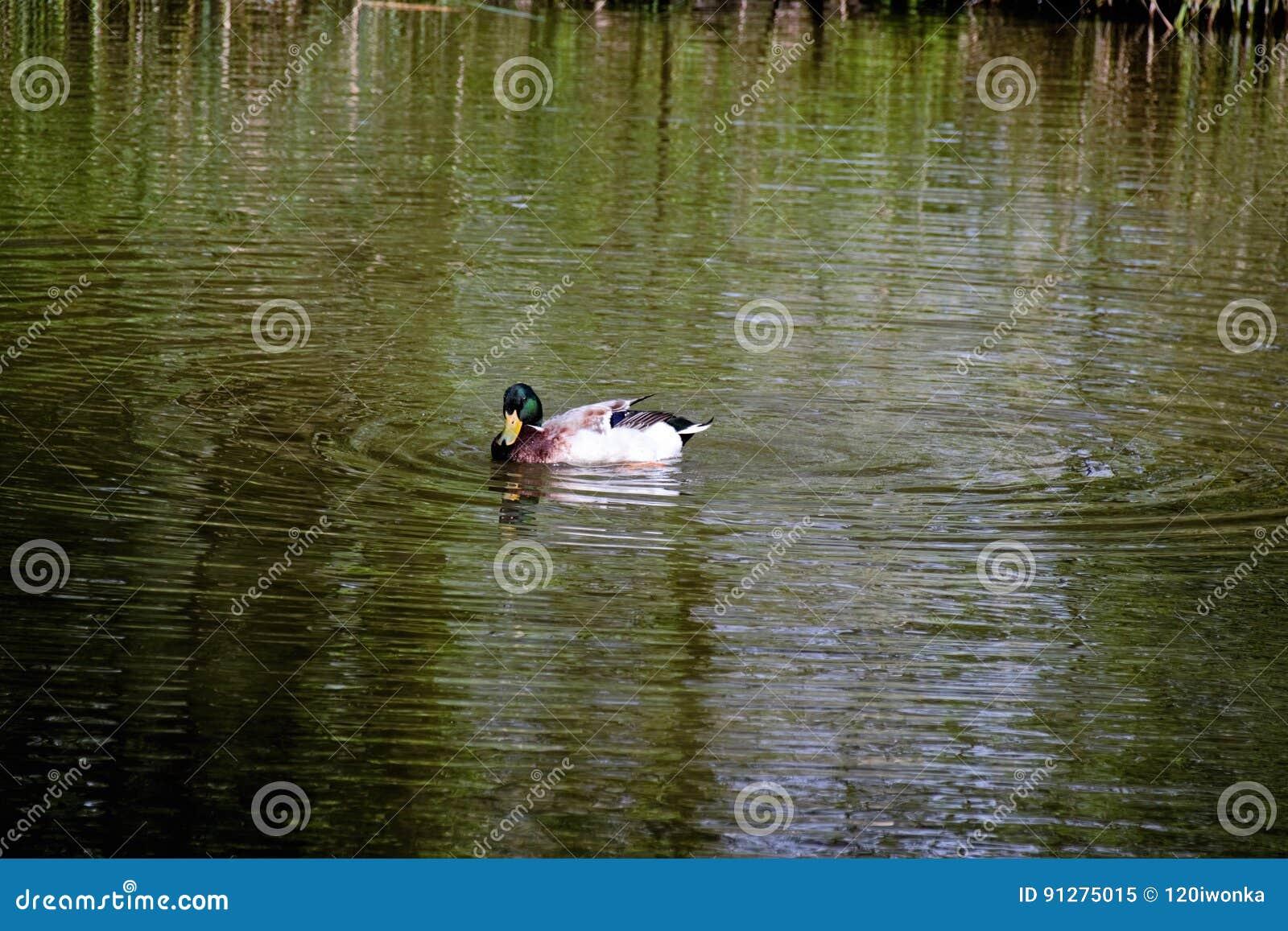 Gräsand Duck Drake