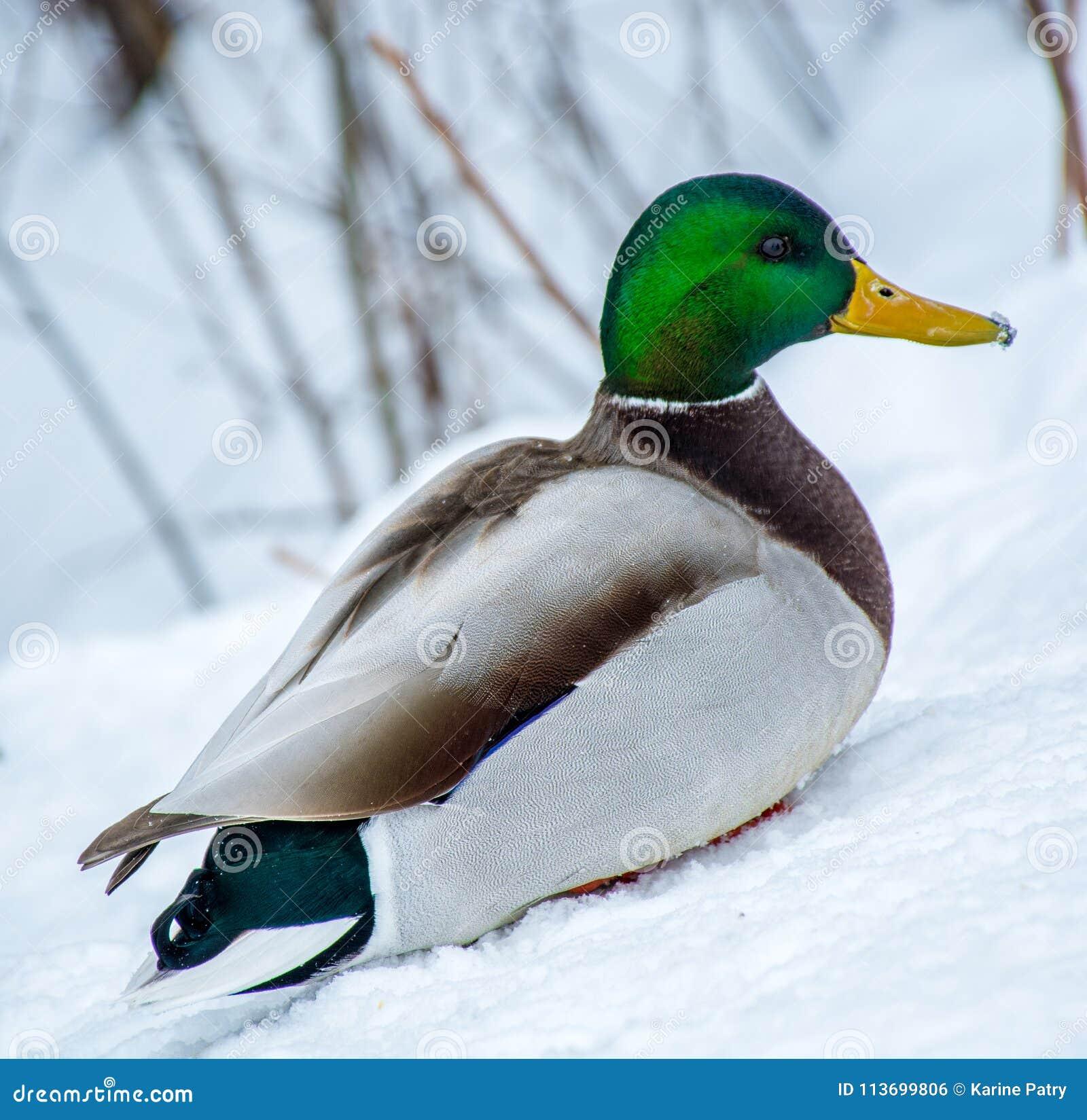 Gräsandman Duck Enjoying Spring Time