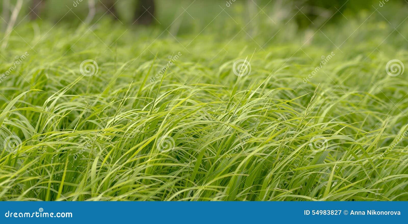 Gräset i en stark vind