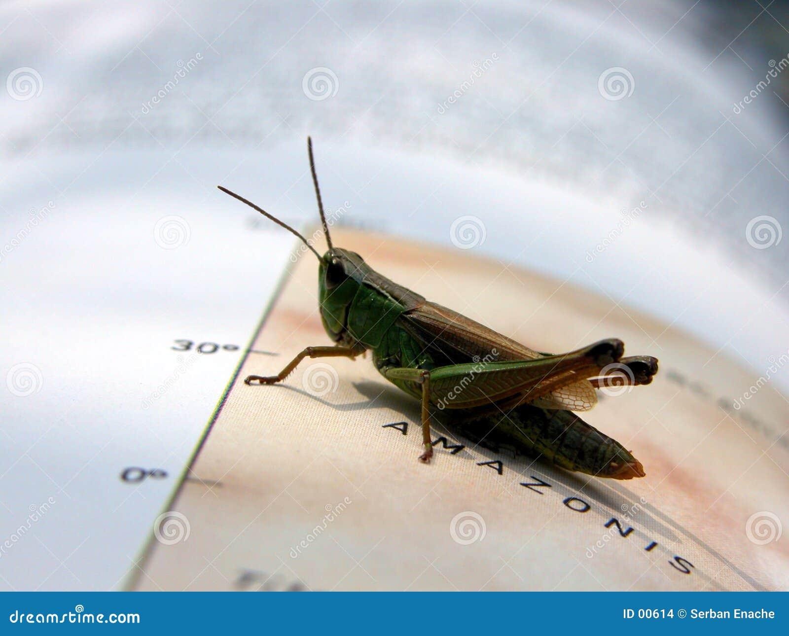 Gräshoppa