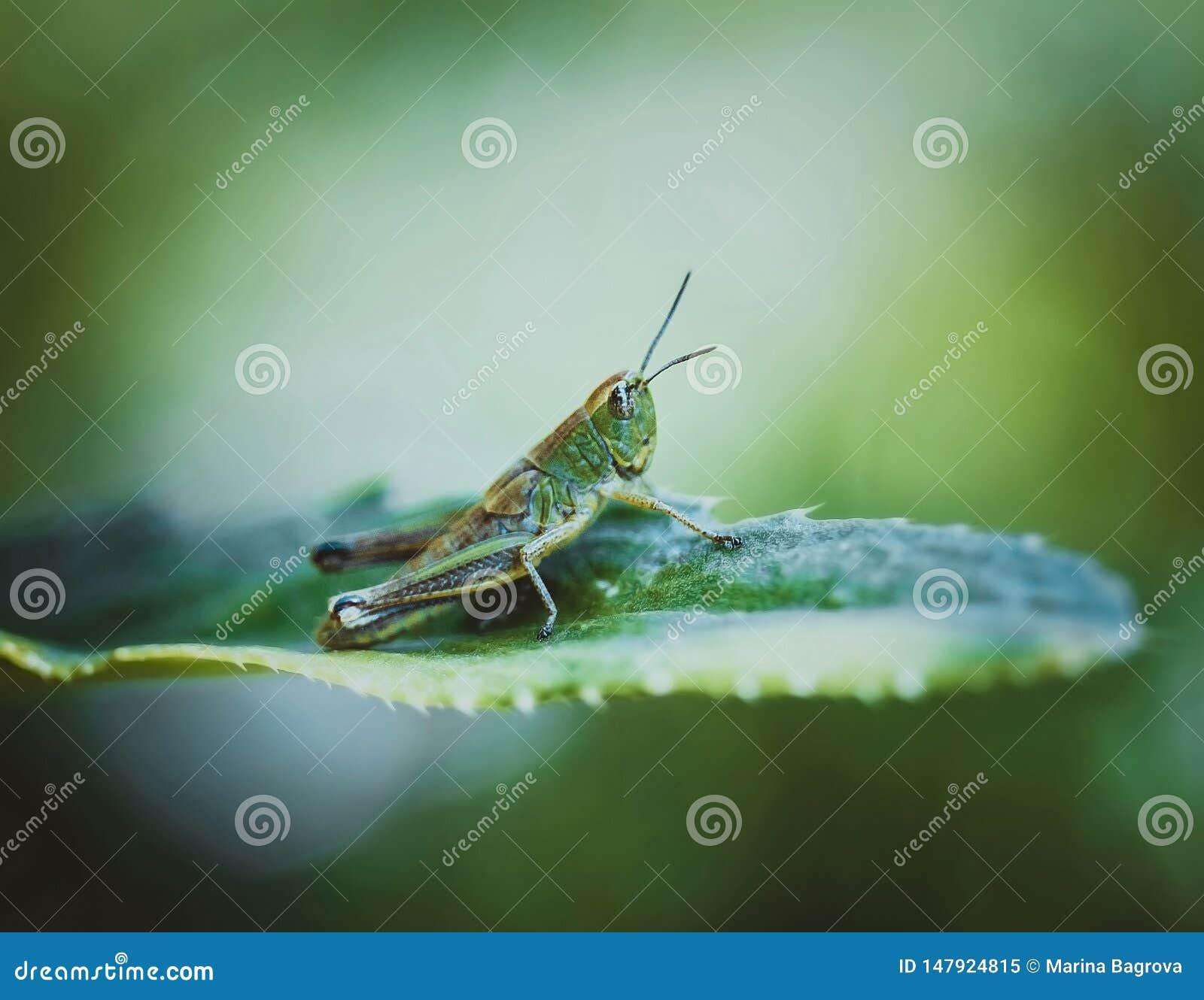 Gräshoppa på ett blad på en ljus guling-gräsplan bakgrund på en sommardag Stäng sig upp makroen, sidosikt Kryp ?r pl?gor