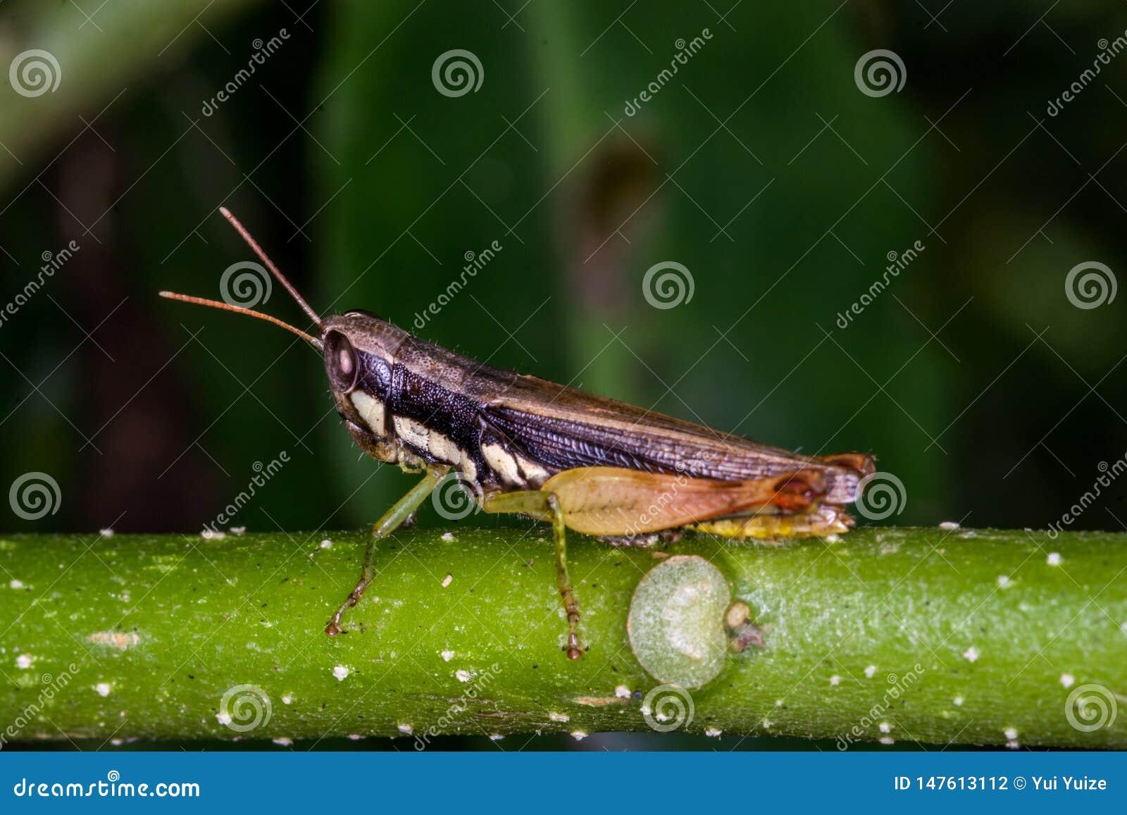 Gräshoppa på grönt gräs