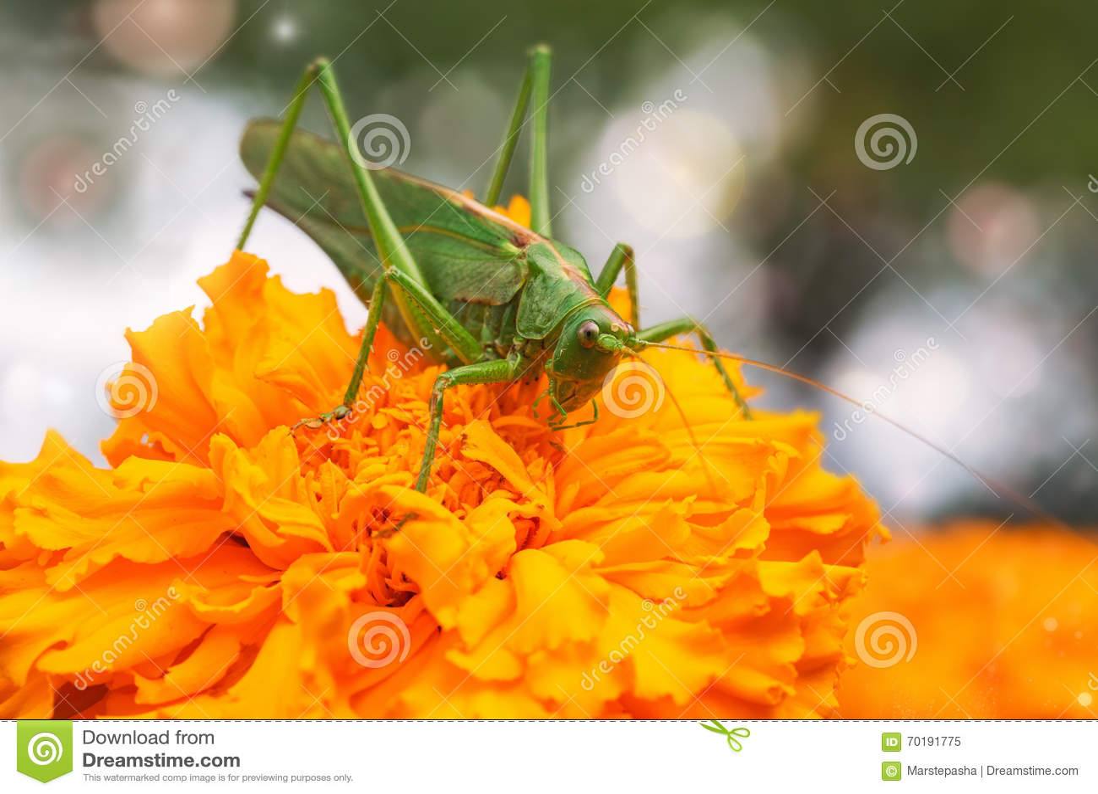 Gräshopparingblomman sitter