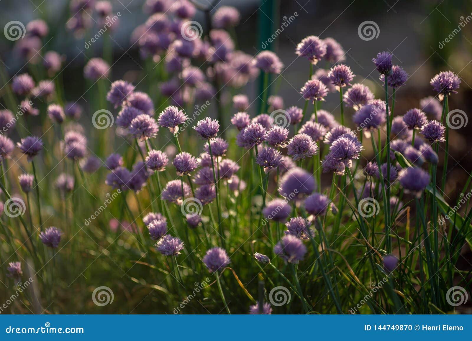 Gräslökar med blommor som fångas i natur in mot solnedgång med kontrast och litet grunt av djup