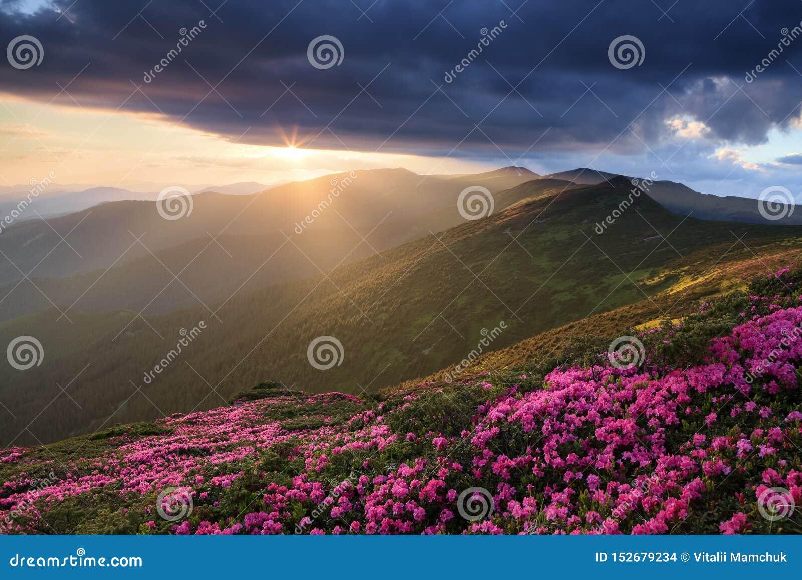 Gräsmatta med de rosa rhododendronerna Carpathian nationalpark för Touristic ställe, Ukraina h?rlig solnedg?ng Majest?tisk sommar