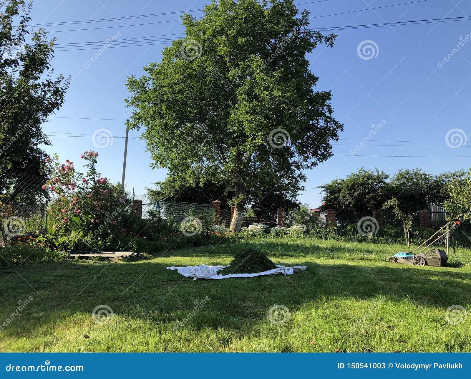 GräsmattamowerLawngräsklippningsmaskin på unplouged gräsmatta
