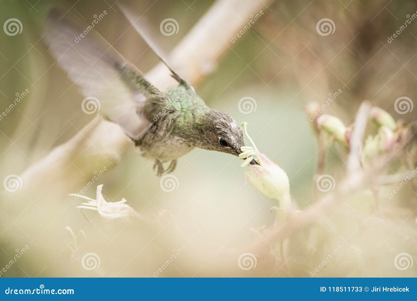 Gräsplan-och-vit kolibri i Cuzco, Peru