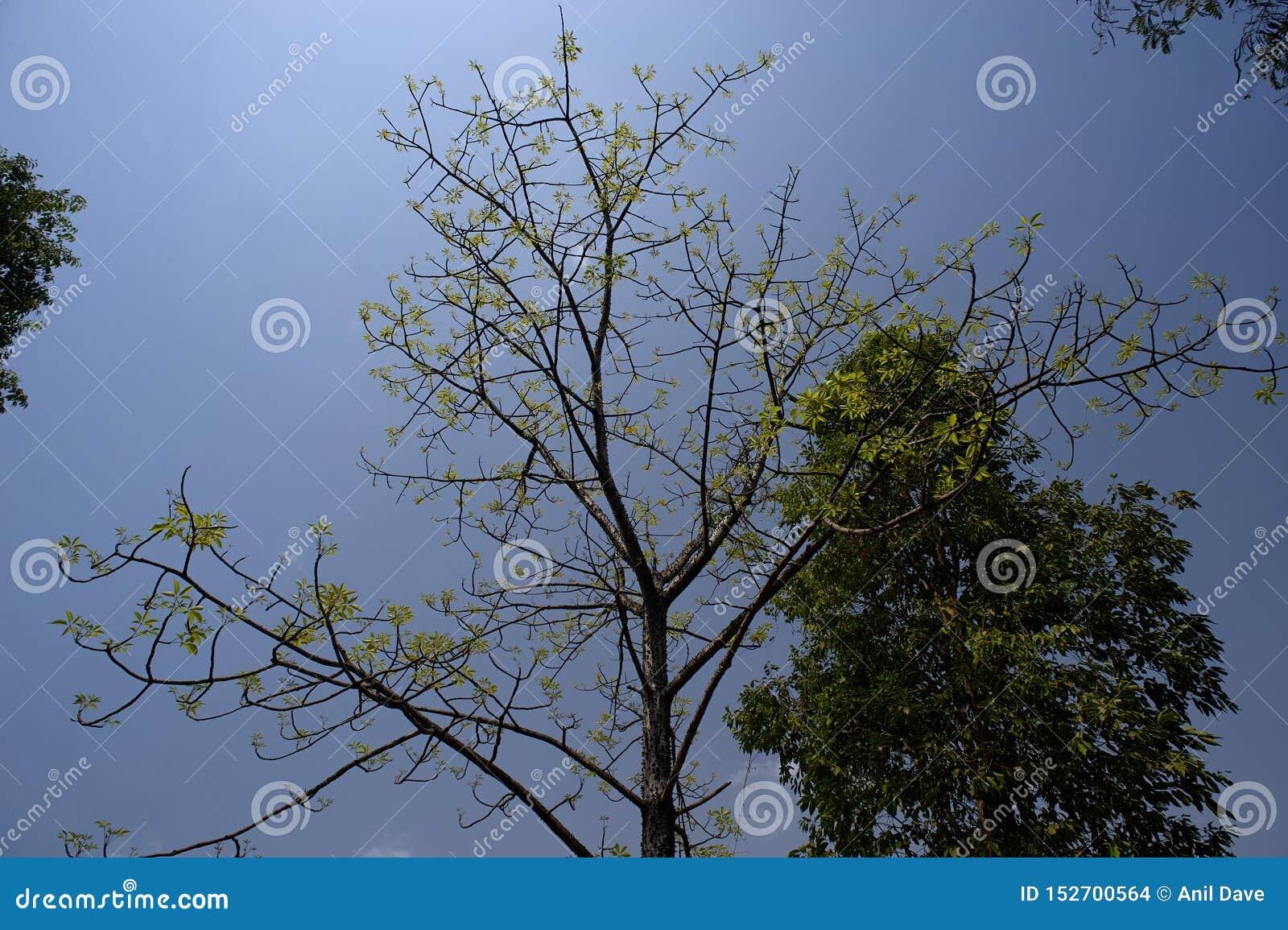Gräsplan spricker ut detbomull trädet nära det Sangamner Ahmednagar området, Maharashtra