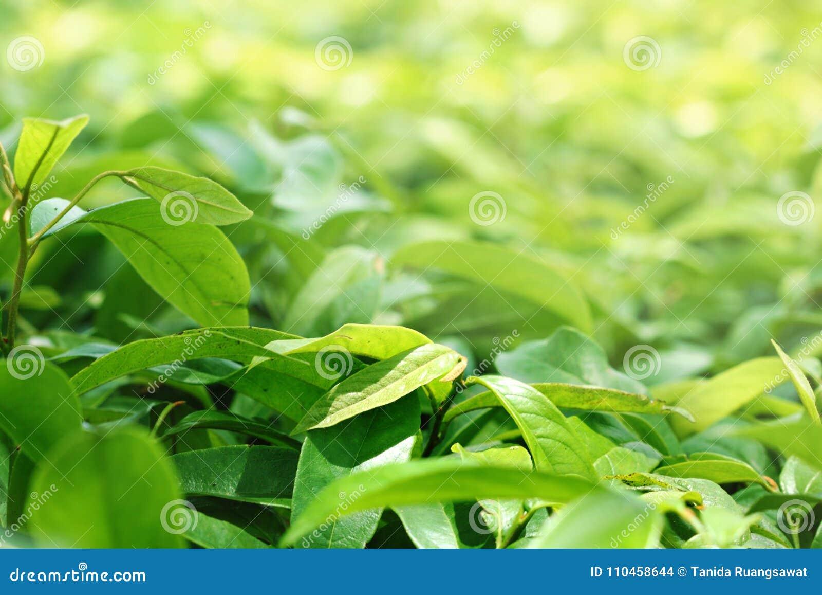 Gräsplansidagruppen av växter har solljus