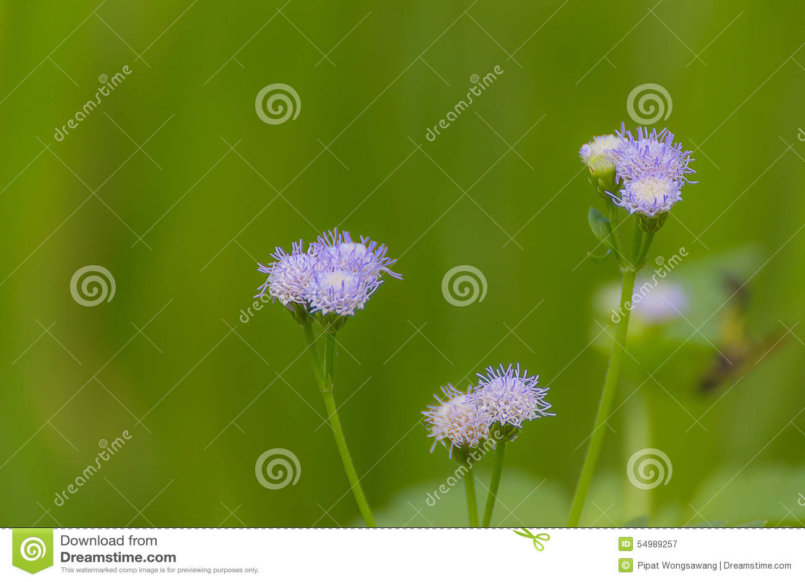 Gräspollenlilor