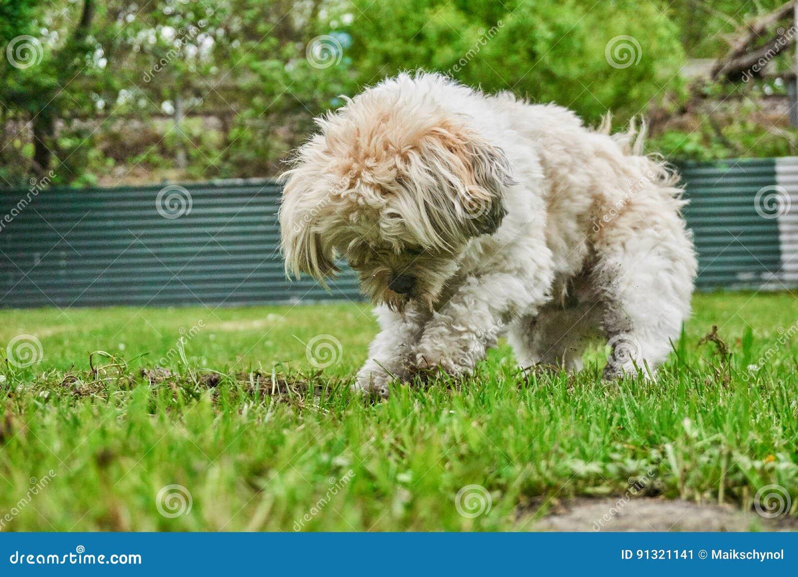 Gräva den blandade hunden för maltese shihtzu