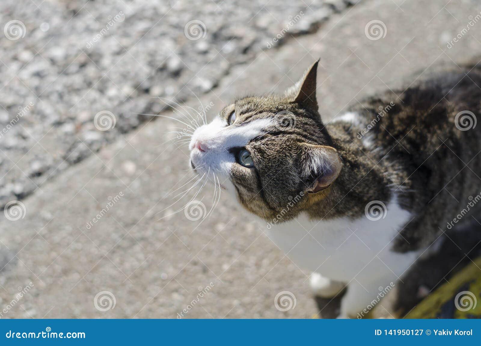 Grå färg-guling-vit frågar den hemlösa hungriga katten för mat Mång--färgade ögon, ett gult andra blått