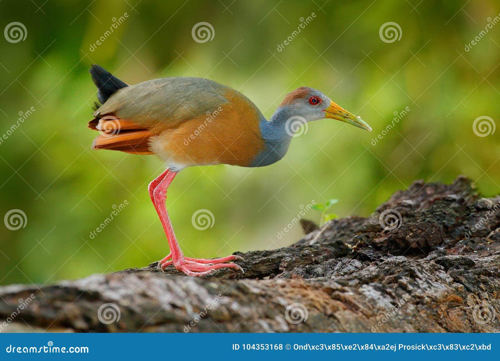 Grå färg-hånglad Trä-stång, Aramides cajanea som går på trädstammen i natur Häger i den mörka vändkretsskogfågeln i naturen