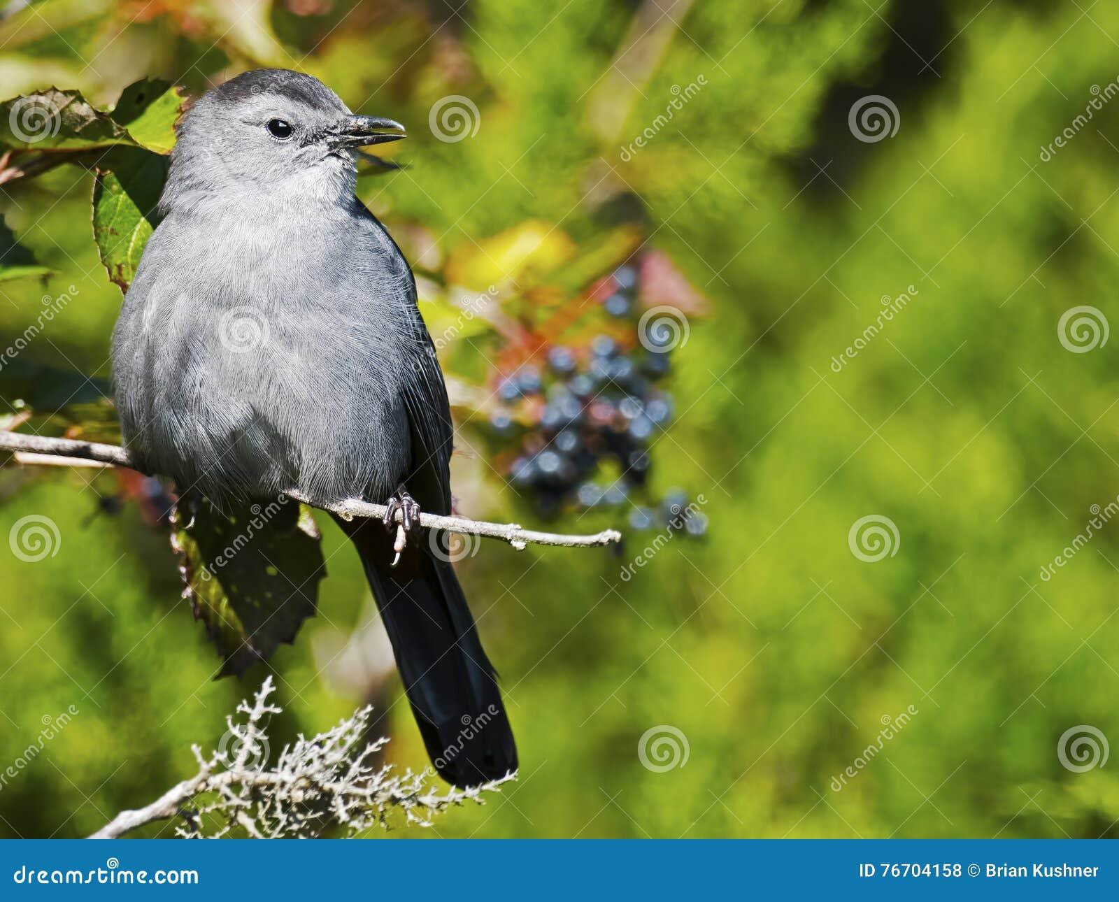 Grå färgcatbird